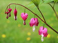 Bleeding hearts flowers Royalty Free Stock Photo