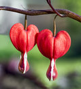 Bleeding Hearts Duet Royalty Free Stock Photo