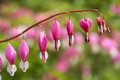 Bleeding Hearts flower in the garden Royalty Free Stock Photo