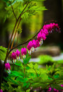 Bleeding hearts flowers surrounded by green leaves Royalty Free Stock Photo