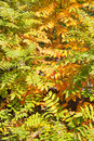 Blend of leaves turning yellow Royalty Free Stock Photo