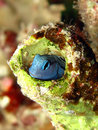 Blenny Royalty Free Stock Images