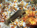 Blenny and Coral Royalty Free Stock Photo