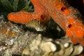 Blenny del colmillo de Highfin (mitratus de los petroscirtes) Imagenes de archivo