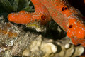 Blenny do colmilho de Highfin (mitratus dos petroscirtes) Imagens de Stock