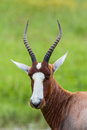 Blesbok Buck Head Stock Image