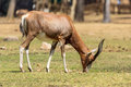 Blesbok a a large herbivore endemic to south africa in a south africa national park Stock Photography