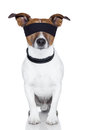 Blindfold dog cover eyes Royalty Free Stock Images