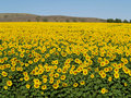 Blissful field of sunflowers #2 Stock Photos
