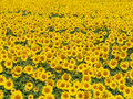Blissful field of sunflowers #3 Royalty Free Stock Photo