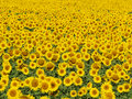 Blissful field of sunflowers #4 Royalty Free Stock Photo