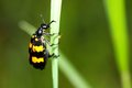 Blister beetle Royalty Free Stock Photos