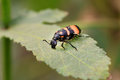 Blister beetle beautiful shot of on green leaf Stock Photography