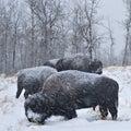 Blizzard Bison Royalty Free Stock Photo