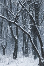 Blizzard in the winter  forest Royalty Free Stock Photo
