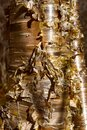 Blond cherry bark in Canadian forest in Quebec Royalty Free Stock Photo