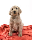Blond labradoodle looking up his big soulful eyes Royalty Free Stock Photos