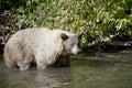 Blonde Brown Bear 9 swimming hunting Stock Photos