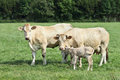 Blonde d`Aquitaine cows and newborn calf in a green meadow Royalty Free Stock Photo