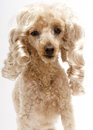Blonde ringlets on pooch a poodle with curly isolated a white background Stock Photography