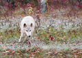 Blonde wolf bounds through early snowfall canis lupus captive animal Royalty Free Stock Images