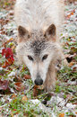 Blonde wolf canis lupus close up prowl captive animal Stock Image
