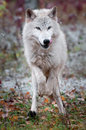 Blonde wolf canis lupus quick stop captive animal Royalty Free Stock Photography