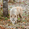 Blonde wolf canis lupus sniffs in snow covered leaves captive animal Royalty Free Stock Photo
