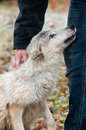 Blonde wolf canis lupus submission captive animal Stock Photo