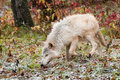 Blonde wolf canis lupus trots through snowfall captive animal Royalty Free Stock Images