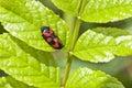 Blood cicadas - Cercopidae Royalty Free Stock Photo