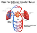 Blood flow in human circulatory system