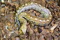 Blood Python (Python curtus) Royalty Free Stock Photo