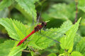 Blood Red Dragonfly - Sympetrum sanguineum Royalty Free Stock Photo