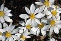 Blood Root blooming in the early morning sun