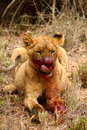 Blood thirsty lion cub s face is full of after eating a good meal the meal was a cape buffalo which the rest of the pride of lions Stock Photos
