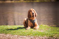 Bloodhound dog laying down wearing a tracking harness Royalty Free Stock Photo