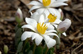 Bloodroot blooming sanguinaria canadensis is a perennial herbaceous flowering plant native to eastern north america Stock Images