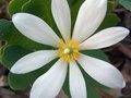 Bloodroot flower Royalty Free Stock Image