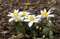 Bloodroot sanguinaria canadensis is a perennial herbaceous flowering plant native to eastern north america Royalty Free Stock Photography