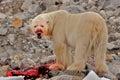 Bloody-faced polar bear with Kill, Spitsbergen, Svalbard, Norway