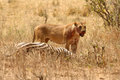 Bloody Lioness stands over Zebra kill Royalty Free Stock Photo
