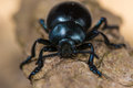 Bloody-nosed Beetle (Timarcha ...
