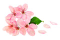 Bloom apple tree flowers pink close up Royalty Free Stock Photo