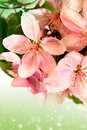 Bloom apple tree flowers pink close up Royalty Free Stock Image