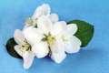 Bloom apple tree flowers white close up Stock Images