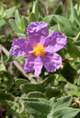 Bloom of cistus albidus rock rose sun rose a small shrubs of scrub and dry woodland regions of southern europe and north africa Royalty Free Stock Images
