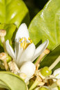 Bloom flower of the orange tree close up view Royalty Free Stock Photography