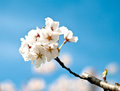 Bloomed branch with cherry flowers Stock Photos