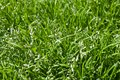 Bloomed grass background blossomed texture Stock Photography